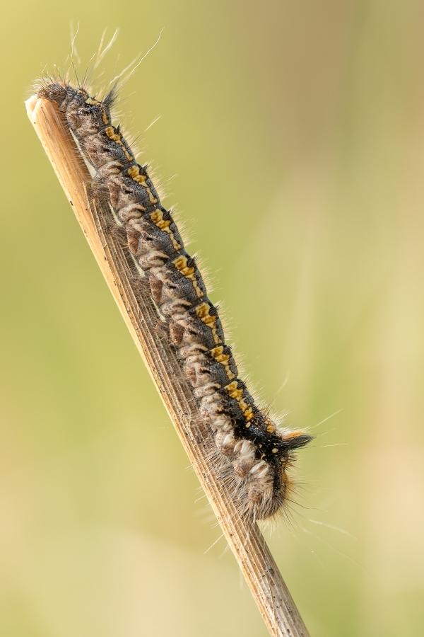 Barczatka napójka, napójka łąkówka (Euthrix potatoria)