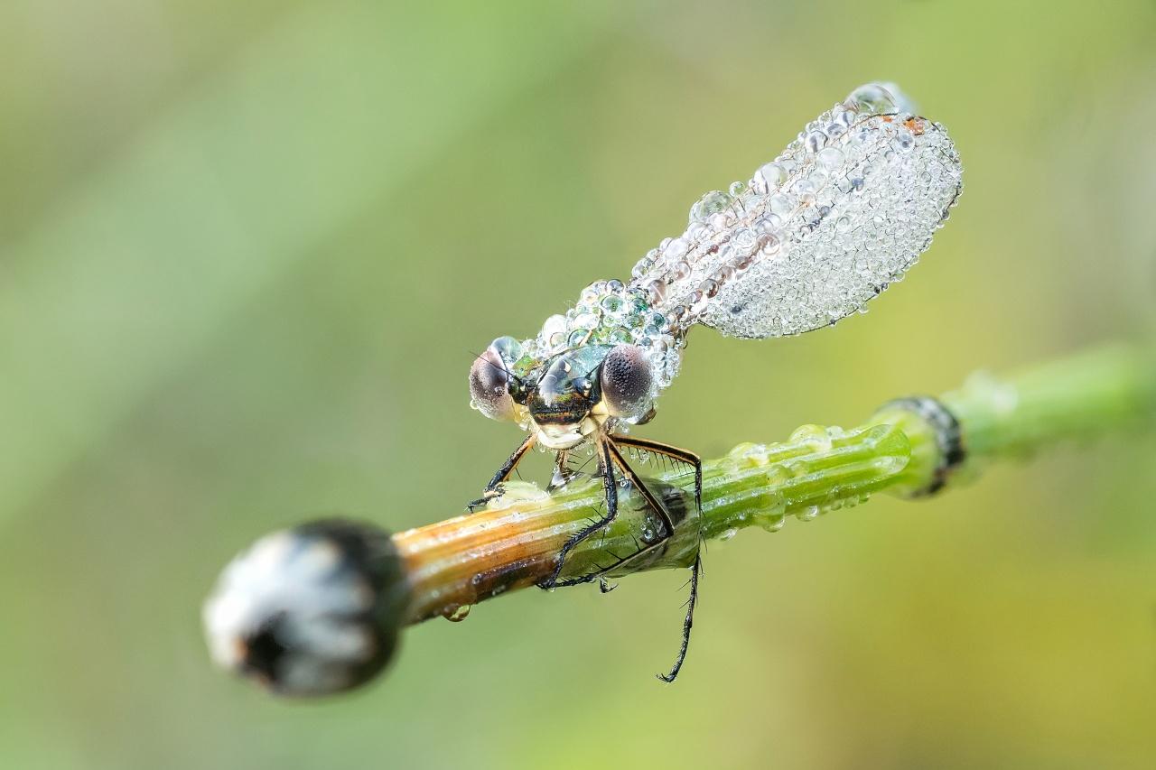 Pałątka mała (Lestes virens) samiec